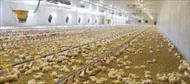 جزوه مرغداری و پرورش مرغ گوشتی