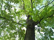 تحقیق گیاه شناسی گردو و آفات مهم درختان گردو